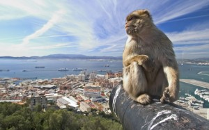 A Gibraltar ape at play.